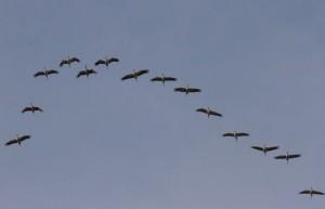 Kraanvogels trekken massaal over Belgie