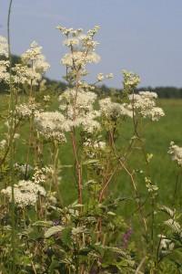 Moerassperia(Filipendula ulmaria)