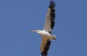 Windmolen onthoofdt uit Pairi Daiza ontsnapte pelikaan