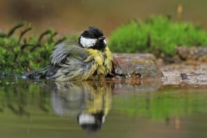 Ook vogels zoeken verkoeling bij hitte