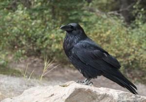 Raven na 150 jaar terug in Limburg